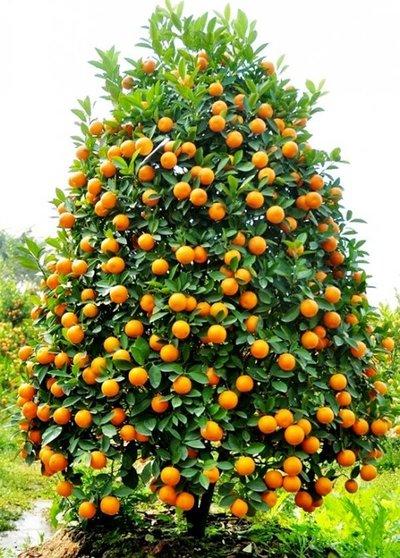 Hướng dẫn cách trồng, chăm sóc cây Quất sau ngày Tết