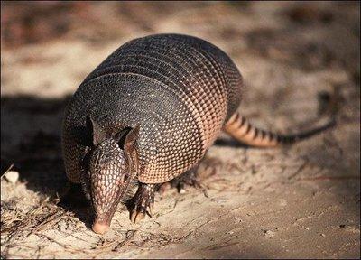 Những loài săn mồi ăn thịt rắn độc như ăn kẹo