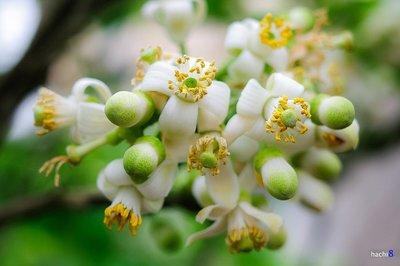 Bài thuốc chữa bệnh từ hoa bưởi tháng 3 cực hay