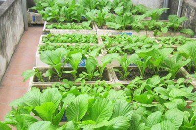Kỹ thuật trồng Rau xanh trong thùng xốp ngay tại Nhà