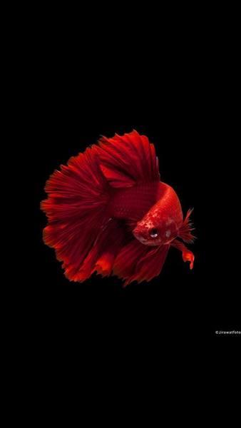 Top hình nền cá chọi siêu đẹp cho điện thoại iPhone