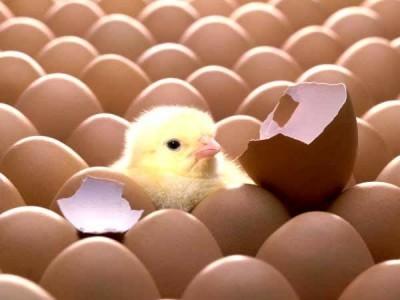 Khám phá lý do gà để nhiều ngày mà trứng lại nở cùng lúc